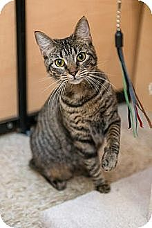 Domestic Shorthair Kitten for adoption in Miami, Florida - Joy