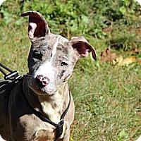 Adopt A Pet :: Sherman - Reisterstown, MD