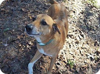 Hound (Unknown Type)/Labrador Retriever Mix Dog for adoption in Ravenel, South Carolina - Willie