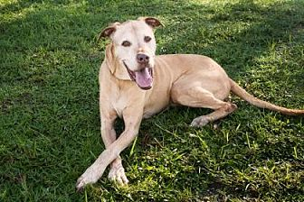 Labrador Retriever/Great Dane Mix Dog for adoption in Loxahatchee, Florida - Jake