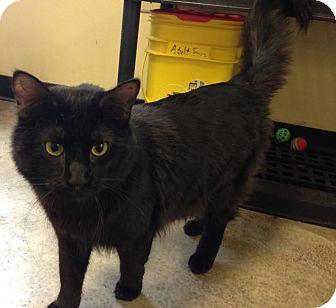 Domestic Longhair Cat for adoption in Larned, Kansas - Johnny