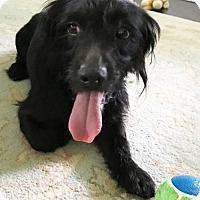 Dachshund/Westie, West Highland White Terrier Mix Dog for adoption in Pompano beach, Florida - Jack Black