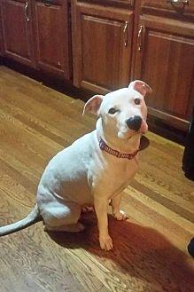Staffordshire Bull Terrier/American Pit Bull Terrier Mix Dog for adoption in Columbus, Ohio - Sheba