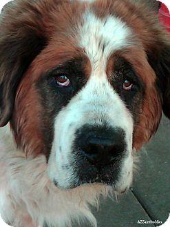 St. Bernard Dog for adoption in Glendale, Arizona - ROMA