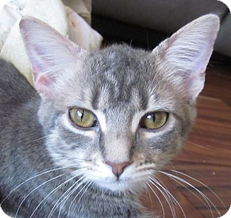 Domestic Shorthair Kitten for adoption in Winchester, California - Eve