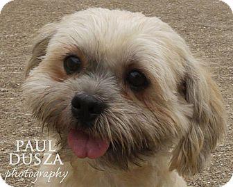 Shih Tzu/Lhasa Apso Mix Dog for adoption in Dallas, Texas - Tater Tot