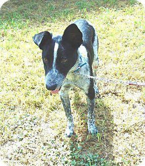 Australian Cattle Dog Mix Dog for adoption in Seattle, Washington - Snoopy