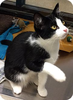 Domestic Shorthair Cat for adoption in Houston, Texas - Lu Lu