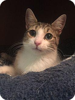 Domestic Shorthair Cat for adoption in Hoffman Estates, Illinois - Gracie