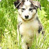 Adopt A Pet :: Roxy - Auburn, CA