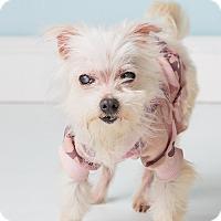 Adopt A Pet :: Sophia - Hendersonville, NC