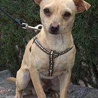 Adopt A Pet :: Roy - Tucson, AZ