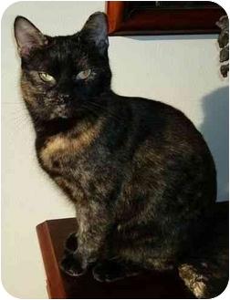 Domestic Shorthair Cat for adoption in Reston, Virginia - Charlotte
