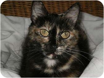 Domestic Shorthair Cat for adoption in Morris, Pennsylvania - Ivy.....needs spay sponsor