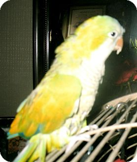Parakeet - Quaker for adoption in Mantua, Ohio - SUNSHINE