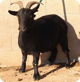 Goat for adoption in Sac, California - Nygina