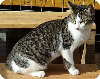 Domestic Shorthair Cat for adoption in Bedford, Virginia - Janet