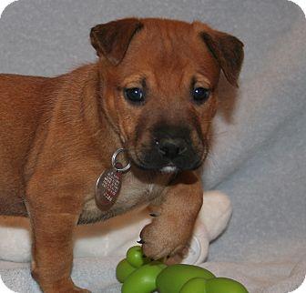 German Shepherd Dog/Labrador Retriever Mix Puppy for adoption in Scottsdale, Arizona - Avery