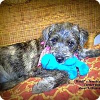 Adopt A Pet :: Bindi - Gadsden, AL