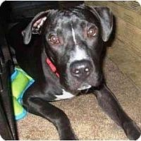 Adopt A Pet :: Ransom - Gilbert, AZ