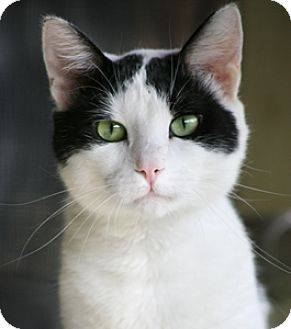 Domestic Shorthair Cat for adoption in North Fort Myers, Florida - Mr. Pibbs
