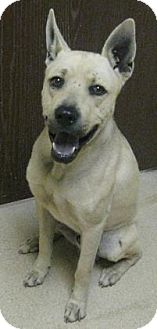 Shepherd (Unknown Type) Mix Dog for adoption in Gary, Indiana - Zues