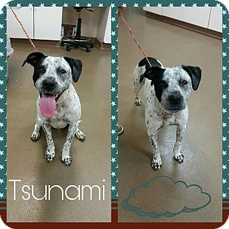 Cattle Dog/Pit Bull Terrier Mix Dog for adoption in Steger, Illinois - Tsunami