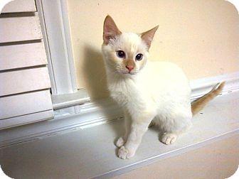 Siamese Kitten for adoption in Raleigh, North Carolina - James