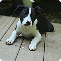 Adopt A Pet :: Magic 7 Blaine - Chantilly, VA