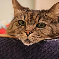 Domestic Shorthair Cat for adoption in Rockaway, New Jersey - Noel