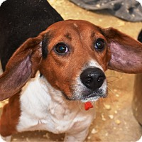 Beagle Mix Dog for adoption in Glastonbury, Connecticut - Dusty ~ meet me!