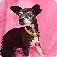Adopt A Pet :: Pepper - Studio City, CA