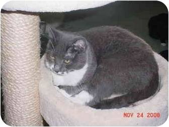 Domestic Shorthair Cat for adoption in Pendleton, Oregon - Misty