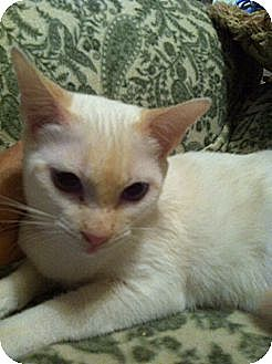 Siamese Cat for adoption in Austin, Texas - Betsy