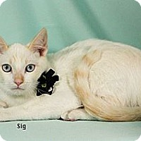 Siamese Cat for adoption in Kerrville, Texas - Sig