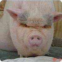 Adopt A Pet :: Asimo - Mack, CO - Las Vegas, NV