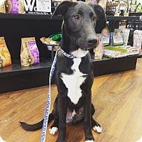 Adopt A Pet :: BALOO - Pompton Lakes, NJ