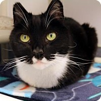 Domestic Mediumhair Cat for adoption in Bellevue, Washington - Domino