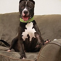 Great Dane Mix Dog for adoption in Brookhaven, New York - Cano