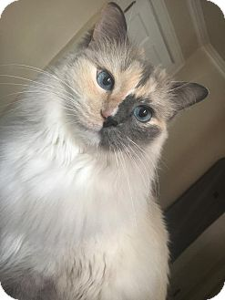 Siamese Cat for adoption in Covington, Kentucky - Sophia