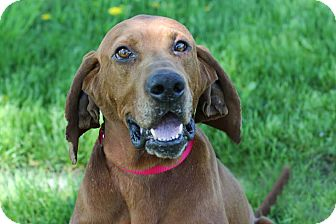 Redbone Coonhound Dog for adoption in Midland, Michigan - Ryder