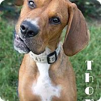 Adopt A Pet :: Thor - Newport, KY