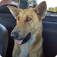 Shepherd (Unknown Type) Mix Dog for adoption in Brownsboro, Alabama - Texaco