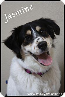 Australian Shepherd Mix Dog for adoption in Rockwall, Texas - Jasmine