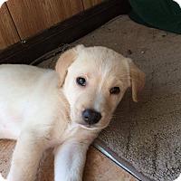 Adopt A Pet :: Blondie 1-pending adoption - Manchester, CT