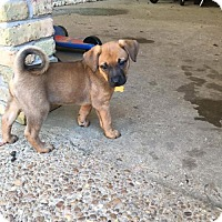 Boxer/Hound (Unknown Type) Mix Puppy for adoption in Albertville, Minnesota - Ruby
