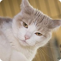 Domestic Shorthair Cat for adoption in Kalamazoo, Michigan - Kitty