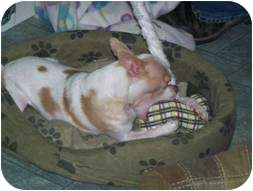 Chihuahua/Italian Greyhound Mix Dog for adoption in Seattle, Washington - Princess 2