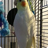 Adopt A Pet :: Doodles - Punta Gorda, FL