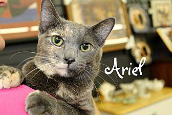 Domestic Shorthair Cat for adoption in Wichita Falls, Texas - Ariel
